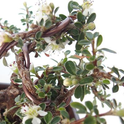 Outdoor bonsai-Cotoneaster horizontalis-Rockrose - 3