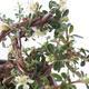 Outdoor bonsai-Cotoneaster horizontalis-Rockrose - 3/3