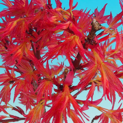Outdoor bonsai - Acer palmatum Beni Tsucasa - Japanese Maple 408-VB2019-26736 - 3