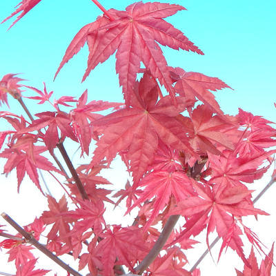 Outdoor bonsai - maple palmatum DESHOJO - Maple dlanitolistý - 3