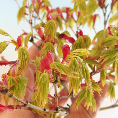 Acer palmatum Aureum - Japanese maple VB2020-469 - 4