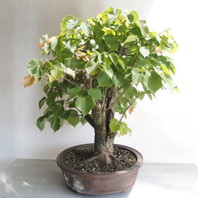 Outdoor bonsai - Linden - Tilia cordata - 4