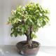 Outdoor bonsai - Linden - Tilia cordata - 4/5