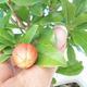 Room bonsai-PUNICA granatum nana-Pomegranate - 4/4