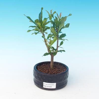 Room bonsai-PUNICA granatum nana-Pomegranate - 4
