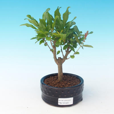 Room bonsai-PUNICA granatum nana-Pomegranate - 4