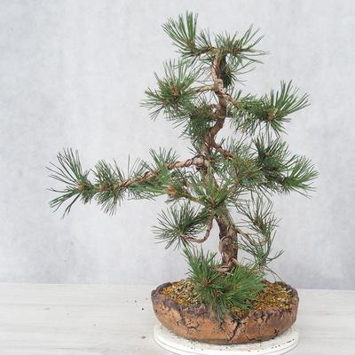 Outdoor bonsai - Pinus Mugo - Kneeling Pine - 4