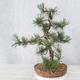 Outdoor bonsai - Pinus Mugo - Kneeling Pine - 4/4