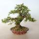 Outdoor bonsai -Larix decidua - Larch - 4/5