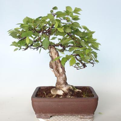 Outdoor bonsai - Zelkova - 4
