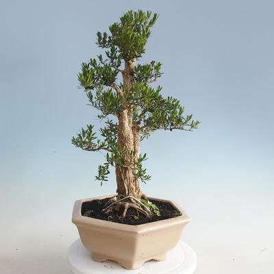 Indoor bonsai - Buxus harlandii - Cork boxwood - 4