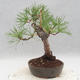 Outdoor bonsai - Pinus sylvestris - Scots pine - 4/5