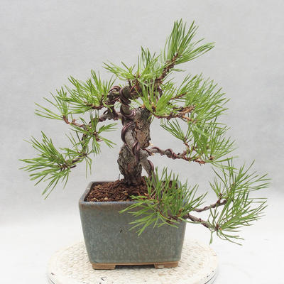 Outdoor bonsai - Pinus sylvestris - Scots pine - 4