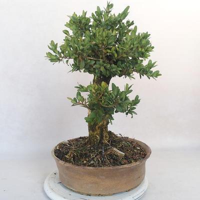 Outdoor bonsai - Boxwood - 4
