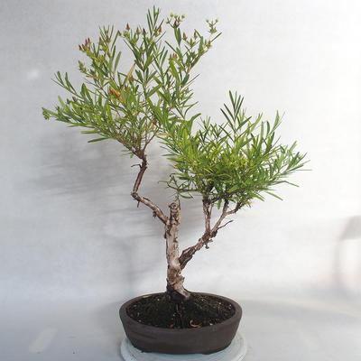 Outdoor bonsai- St. John's wort - Hypericum - 4