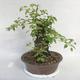 Outdoor bonsai -Mahalebka - Prunus mahaleb - 4/5