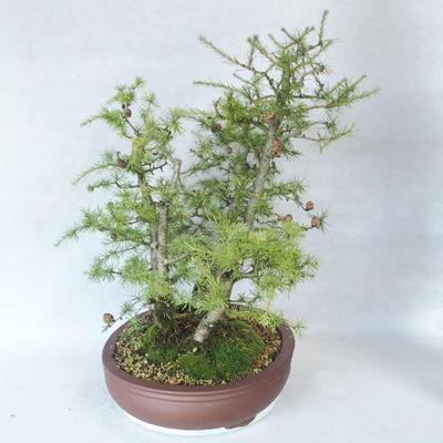 Outdoor bonsai -Larix decidua - Larch - 4