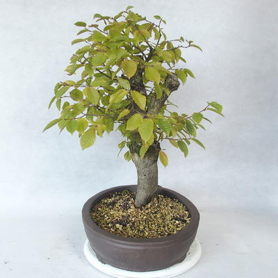 Outdoor bonsai - Hornbeam - Carpinus betulus - 4