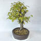 Outdoor bonsai - Hornbeam - Carpinus betulus - 4/5