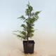 Outdoor bonsai - Hornbeam - Carpinus betulus - 4/5