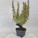 Outdoor bonsai - Satureja mountain - Satureja montana - 4/5