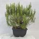Outdoor bonsai - Satureja mountain - Satureja montana - 4/6