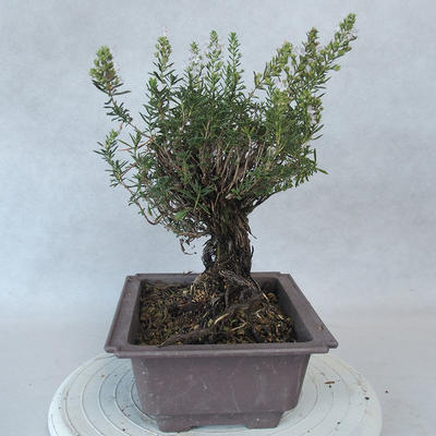 Outdoor bonsai - Satureja mountain - Satureja montana - 4