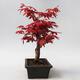 Outdoor bonsai - Maple palmatum DESHOJO - Japanese Maple - 4/5