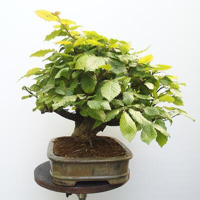 Outdoor bonsai - Hornbeam - Carpinus betulus - 4