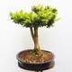 Outdoor bonsai - Boxwood - 4/5