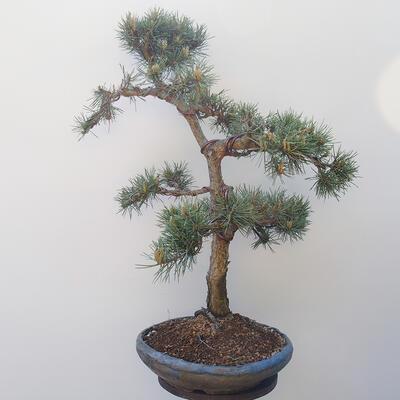 Outdoor bonsai - Pinus sylvestris Watereri - Scots Pine - 4
