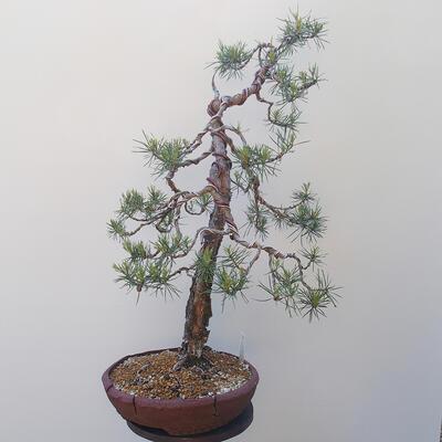 Outdoor bonsai - Pinus sylvestris - Scots pine - 4