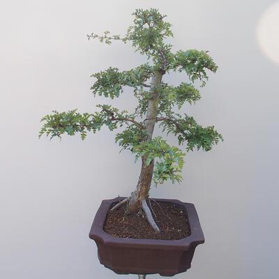 Outdoor bonsai - Hawthorn - 4