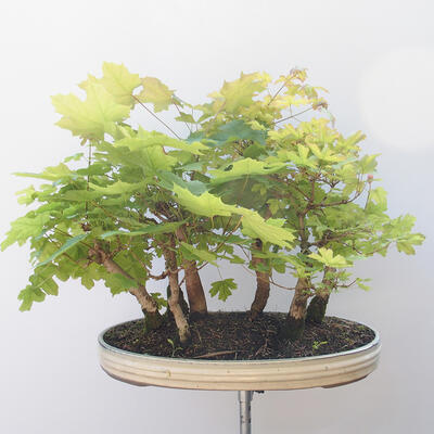 Acer campestre, acer platanoudes - Baby maple, maple - 4