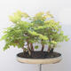 Acer campestre, acer platanoudes - Baby maple, maple - 4/4