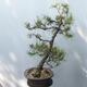 Outdoor bonsai - Pinus sylvestris - Scots pine - 4/4