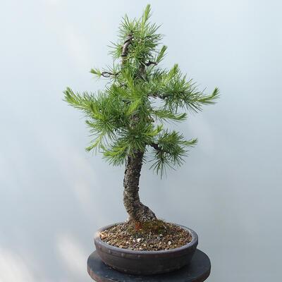 Outdoor bonsai - Larix decidua - Larch - 4