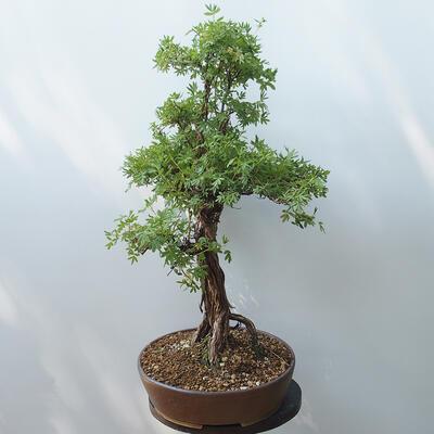 Outdoor bonsai - Cinquefoil - Potentila fruticosa yellow - 4