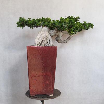 Room bonsai - Ficus nitida - small ficus - 4