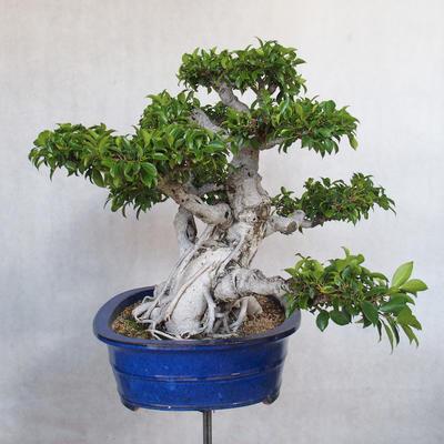Room bonsai - Ficus kimmen - little ficus - 4