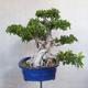 Room bonsai - Ficus kimmen - little ficus - 4/5