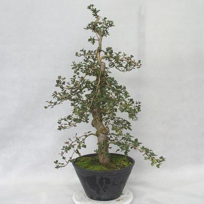 Outdoor bonsai - Hawthorn pink flowers - Crataegus laevigata paul´s Scarlet - 4