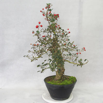 Outdoor bonsai - Hawthorn white flowers - Crataegus laevigata - 4
