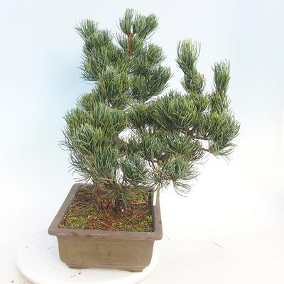 Outdoor bonsai - Pinus parviflora - Small-flowered pine - 4