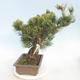 Outdoor bonsai - Pinus parviflora - Small-flowered pine - 4/5