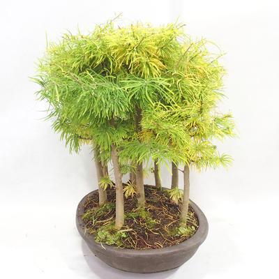 Outdoor bonsai - Pseudolarix amabilis - Pamodřín - grove of 9 trees - 4
