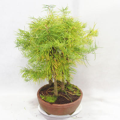 Outdoor bonsai - Pseudolarix amabilis - Pamodřín - grove of 5 trees - 4