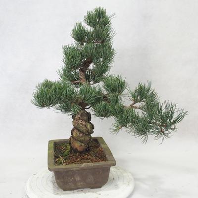 Outdoor bonsai - Pinus parviflora - Small-flowered pine - 4