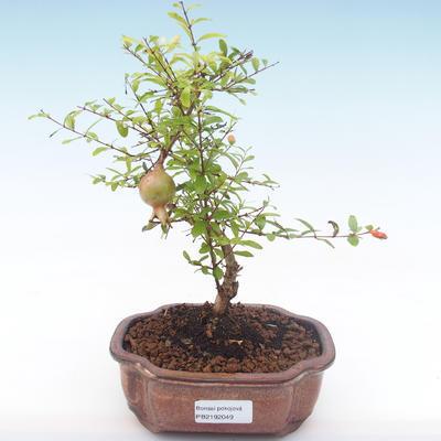 Indoor bonsai-PUNICA granatum nana-Pomegranate PB2192049 - 4