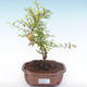 Indoor bonsai-PUNICA granatum nana-Pomegranate PB2192049 - 4/4
